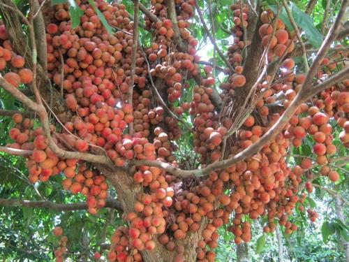 Dâu rừng loại quả dễ ăn, dễ ghiền với vị chua ngọt