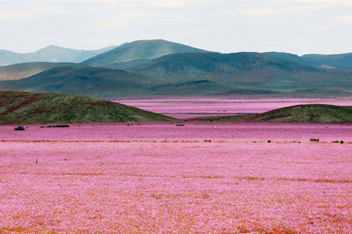 Mùa hoa 'cẩm quỳ' đầu tiên nở rộ trên sa mạc
