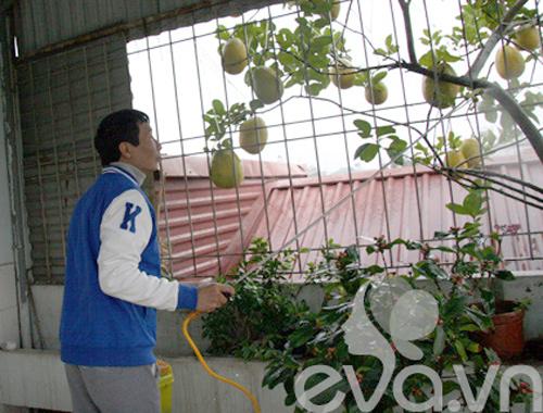 Vườn bưởi thùng xốp trĩu hai chục quả giữa Thủ đô