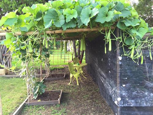 Vườn rau đậm chất quê của gia đình Việt ở New Zealand