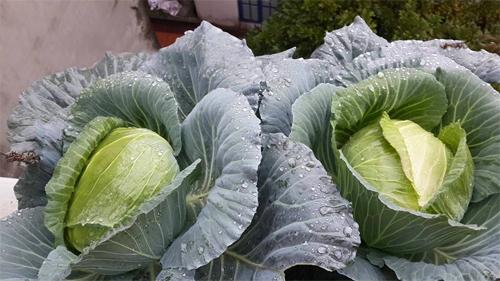 Chủ vườn ban công mách mẹo trồng rau lớn nhanh, ít sâu bệnh