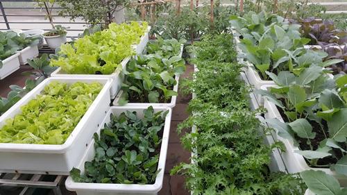 Ngắm vườn rau bội thu, xanh ngát khiến nhiều người 'ghen tị'
