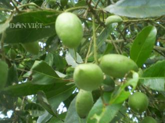 Trái cà na mùa nước nổi ở miền Tây