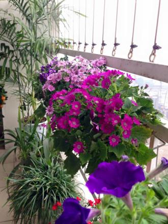 Vườn hoa ban công nở rực rỡ nhờ chăm tưới nước gạo
