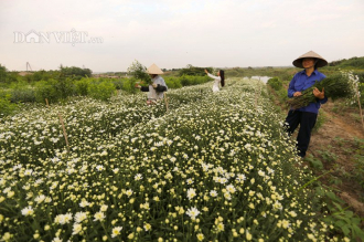 Trắng tinh khôi cúc họa mi trong chớm đông Hà Nội