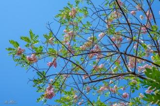 Mùa hoa đỗ mai tuyệt đẹp ở Vũng Tàu