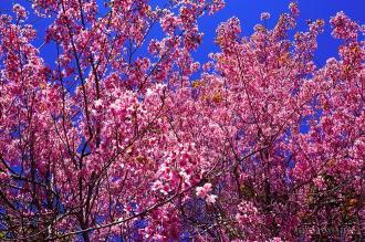 Ngắm hoa mai anh đào loài hoa biểu tượng ở Đà Lạt
