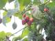 """Kỹ thuật trồng cây cà chua lạ cho năng suất """"khủng"""""""
